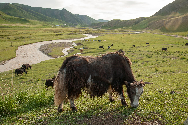Yak al pascolo negli altopiani tibetani