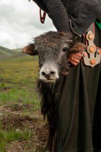 Piccolo di yak con una donna tibetana